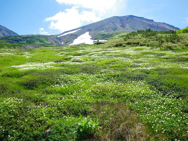 旭岳チングルマ