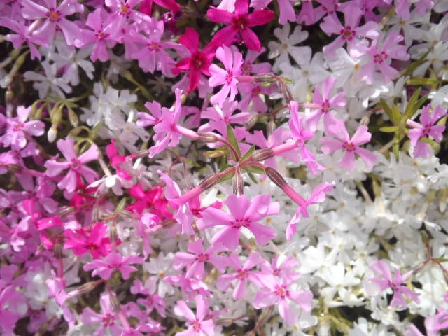 富良野 芝桜