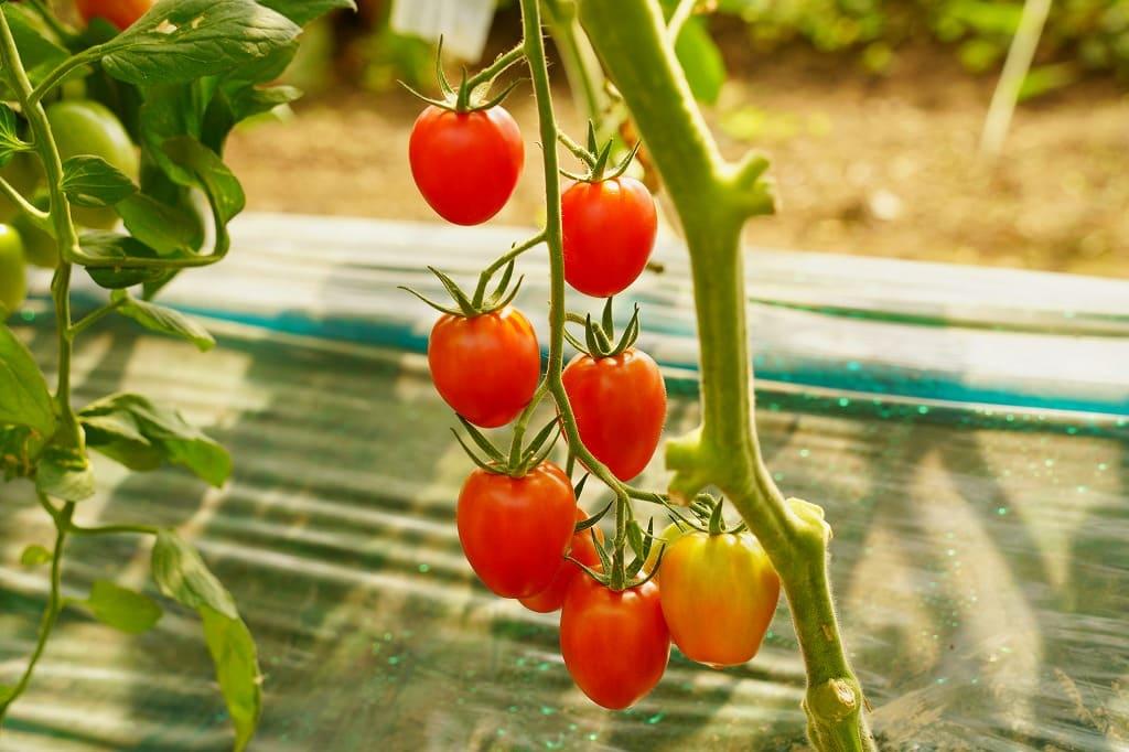 bemybiei_tomato